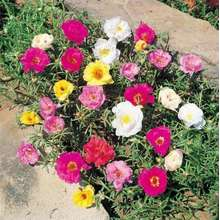 Seeds 10000pcs Mix Color Portulaca Grandiflora Planting Bonsai Flower Planting Garden Plants Gardening - for Flowers and Herbs( Vegetable Flower Plant Seed Gardening Deco Bonsai Seed)